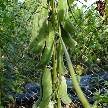 Mucuna Powder (Mucuna pruriens) - Organic 50g