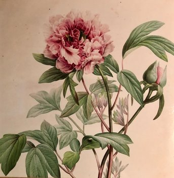 Redouté : Pion - Paeonia Moutan