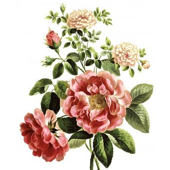 Natural History Museum : Rosa Damascena