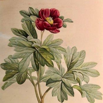 Redouté : Pion - Paeonia Daurica