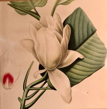 Redouté : Magnolia - Magnolia Macrophylla
