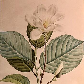 Redouté : Magnolia - Magnolia Yulan