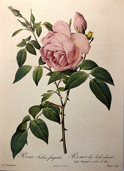 Redouté : Rosa India Fragrans 1817 - Kort med kuvert