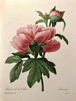 Redouté : Paeonia/Pivoine de la Chine - Kort med kuvert